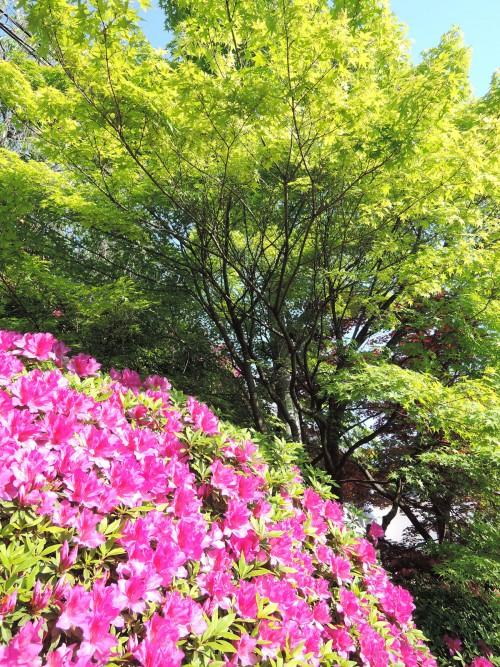 140507-momiji-tsutsuji